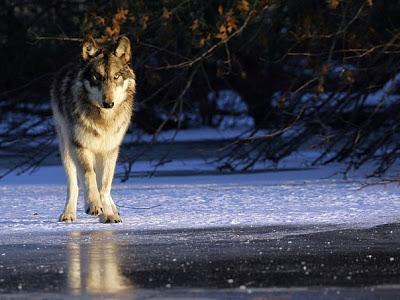 Волки и ювелирка
